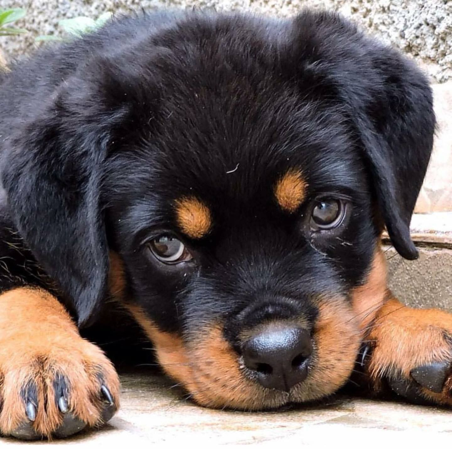 Pin By Lisa De Jesus On Rottweiler Love Rottweiler Love