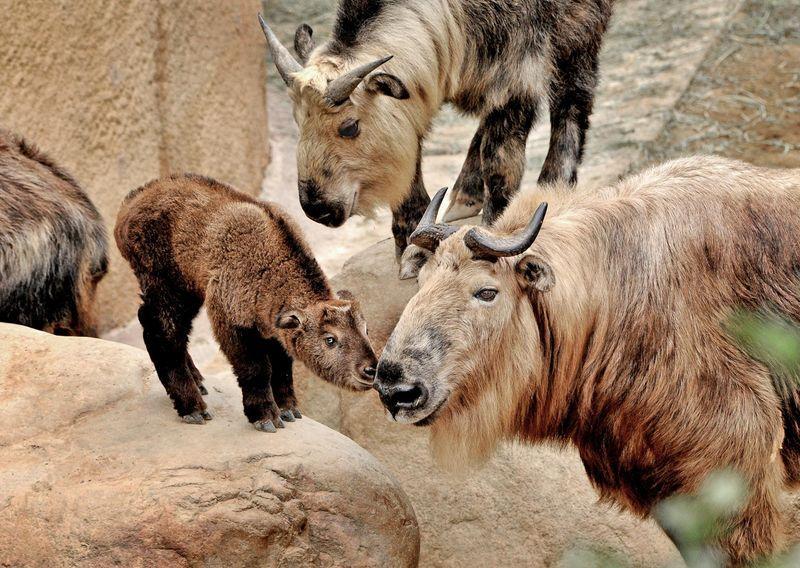 Los Angeles Zoo Welcomes A Takin Calf Los Angeles Zoo Zooborns Zoo