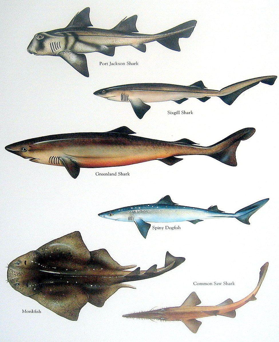 Fish Print - Port Jackson Shark, Sixgill Shark, Monkfish, Spiny ...