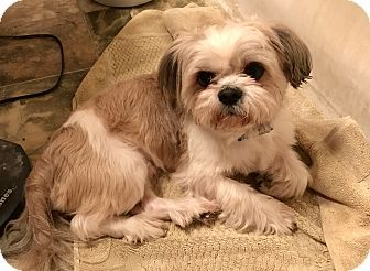 Pictures Of Milo A Shih Tzu Mix For Adoption In St Louis Mo Who