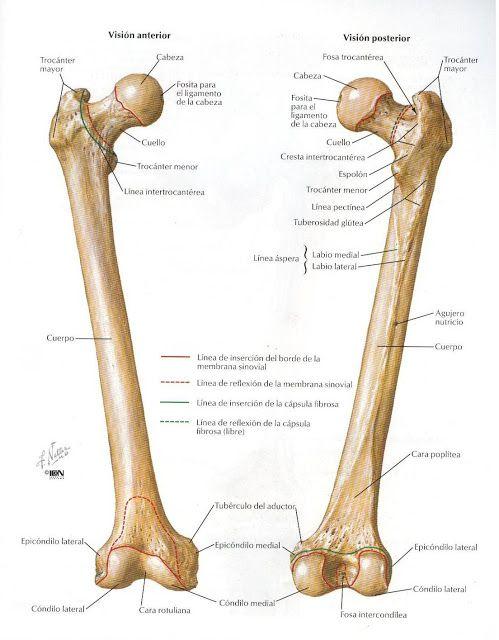 Créditos a: Atlas de Anatomía Humana Netter 2da. Edición | DENIS ...