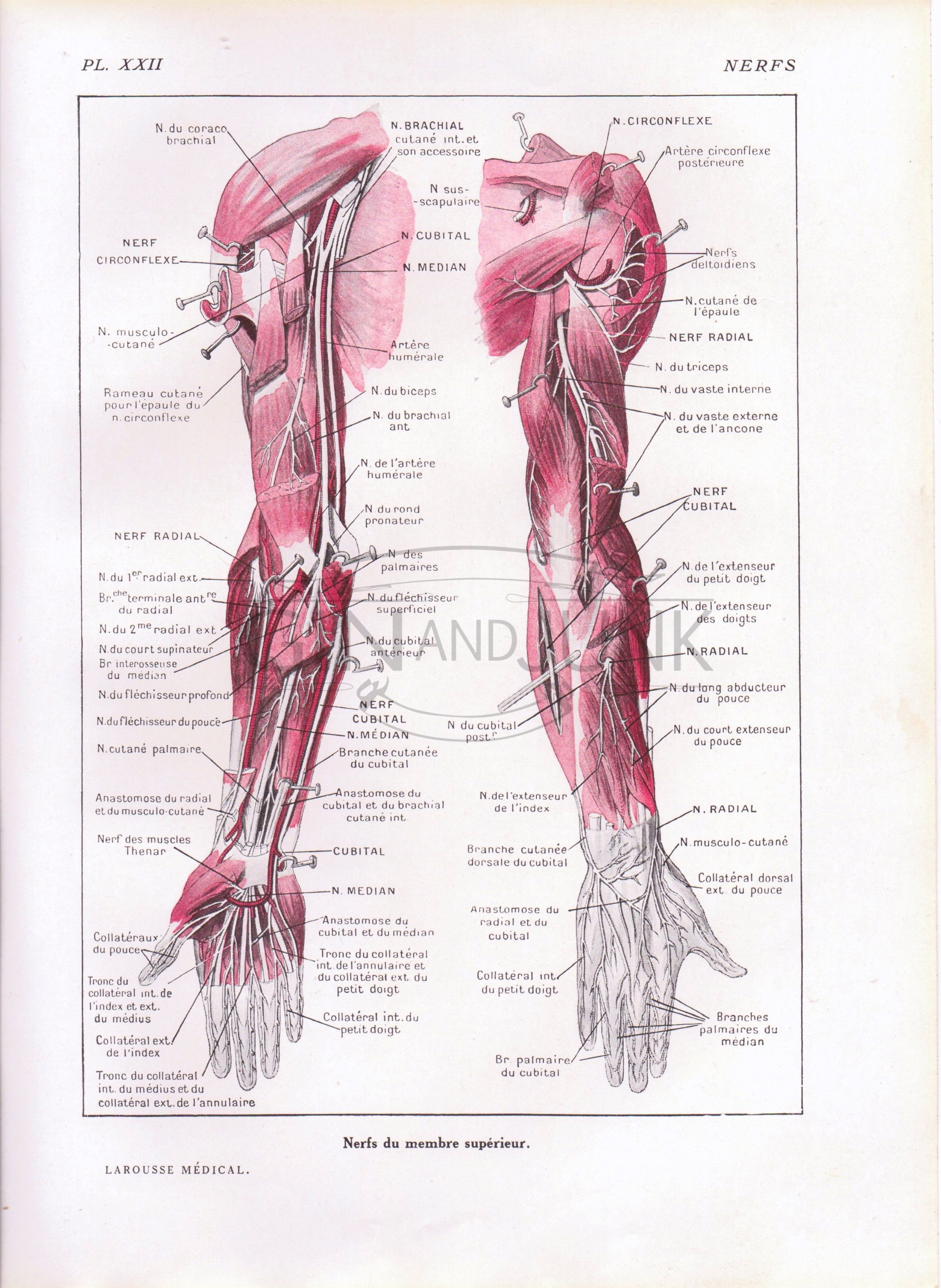 Anatomy Print,Arm Muscles Print, Human Hand, Medical illustration ...