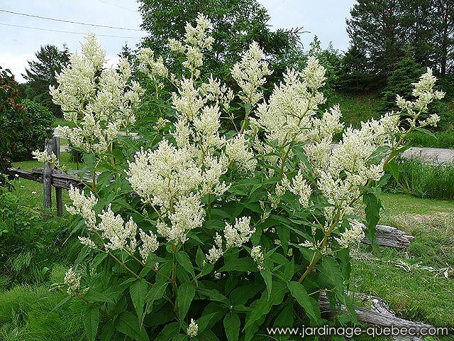 Vivaces du qu bec la renou e polymorphe ou persicaire for Grande plante exterieur