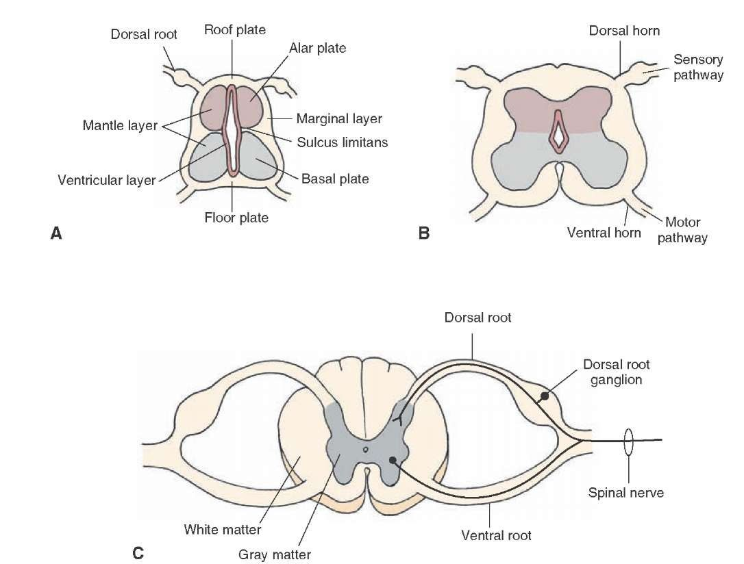 Development Of The Spinal Cord A Early Stage Of Development B Intermediate Stage Of Development And C Late Stage Nervous System Gross Anatomy Nervous