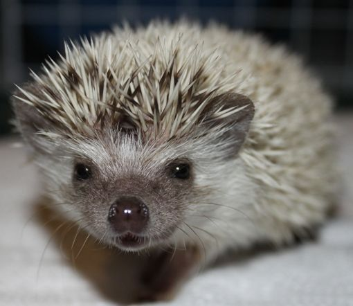 Baby Hedgehogs Aavailable FOR SALE ADOPTION From Cambridge