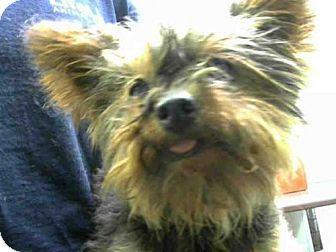Yorkie Yorkshire Terrier Mix Dog For Adoption In Atlanta Georgia Mr Smith Pets Kitten Adoption Dog Adoption