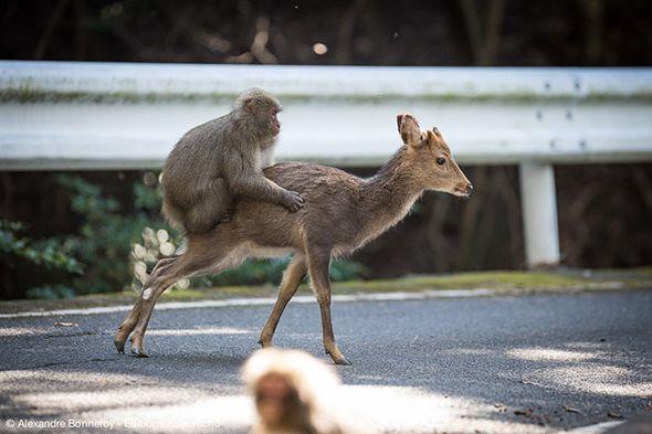 Mono subido encima de un ciervo