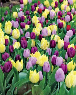 Tulip Mix, Triple Crown