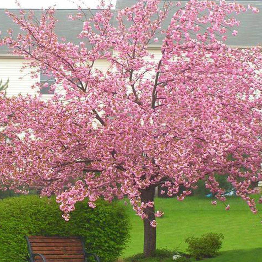 Buy Kanzan Cherry Blossom Tree