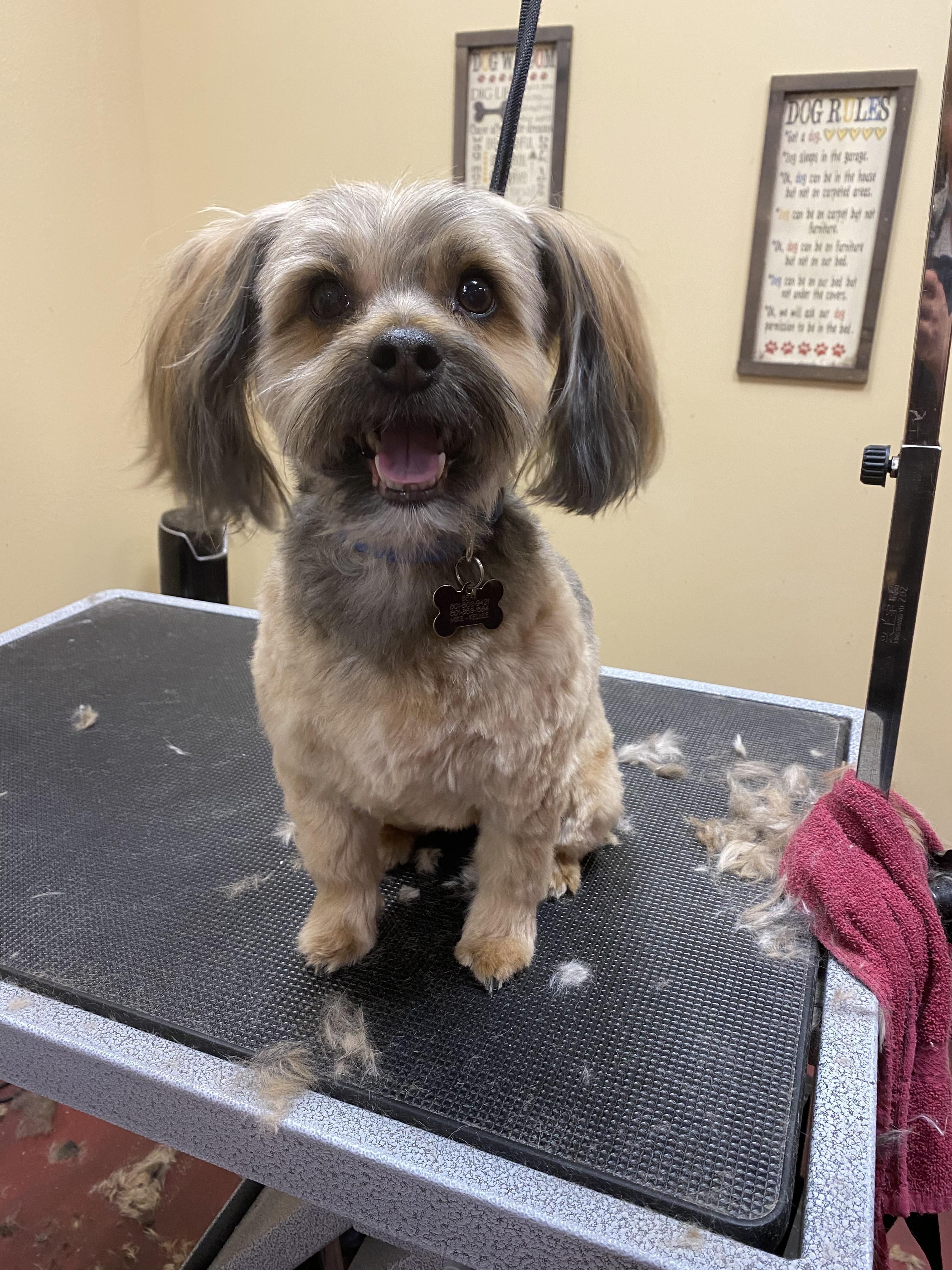 Bear The Shorkie Groomed By Shelby In 2020 Healthy Pets Pet Grooming Grooming