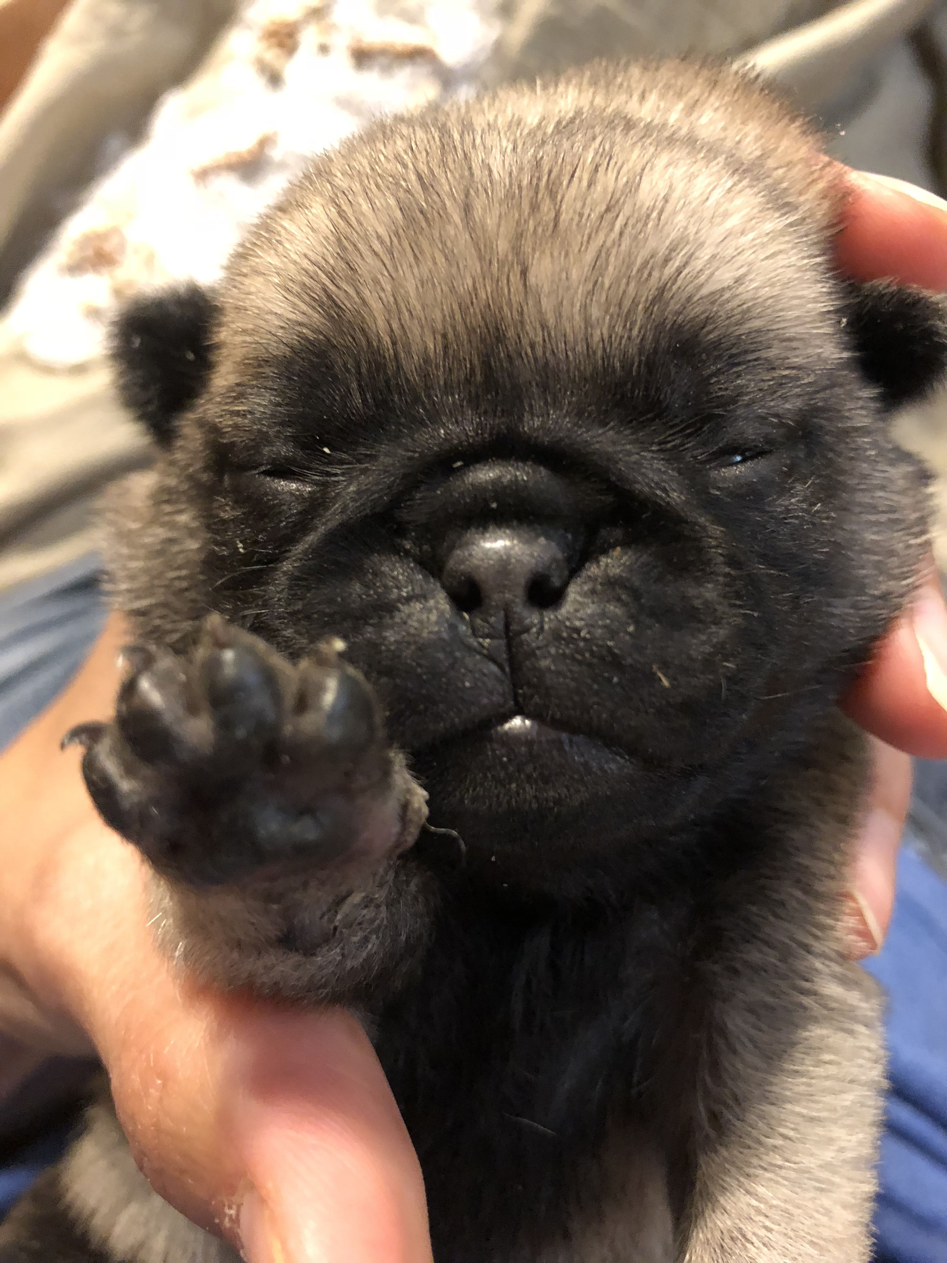 Baby Paws Baby Pugs Pugs Puppies