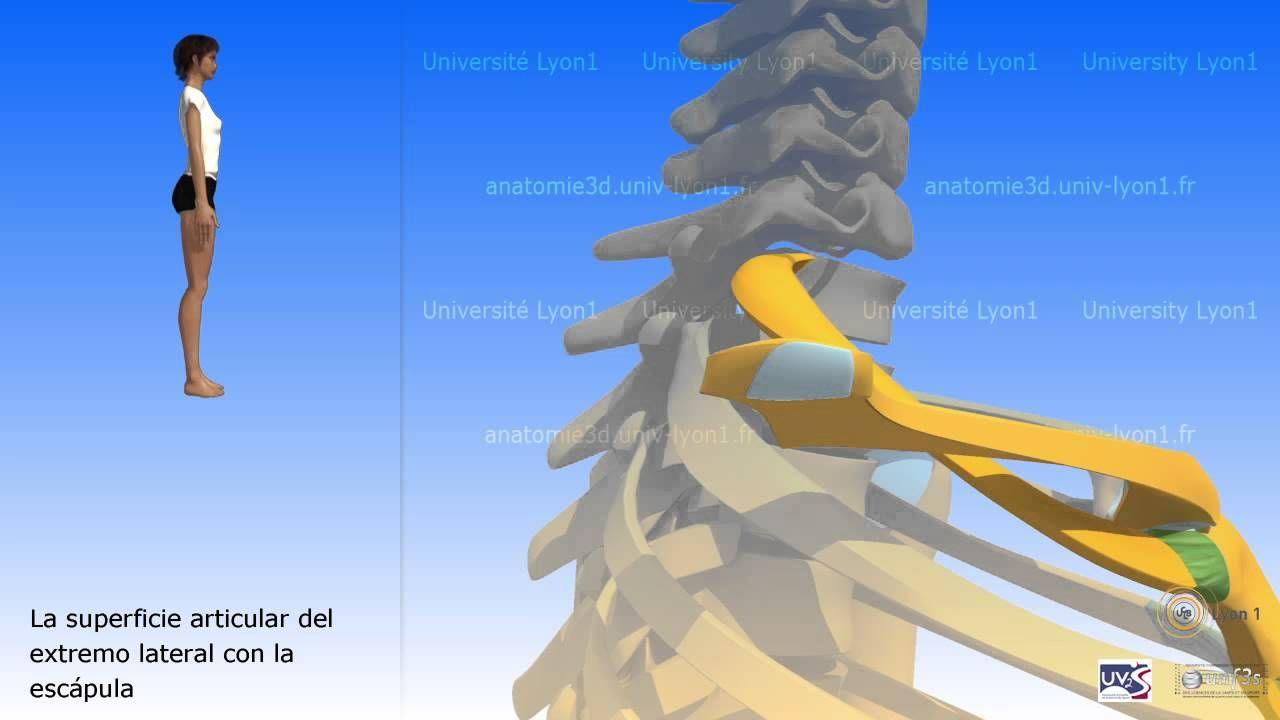 Atractivo Hueso De La Clavícula Anatomía Ilustración - Anatomía de ...