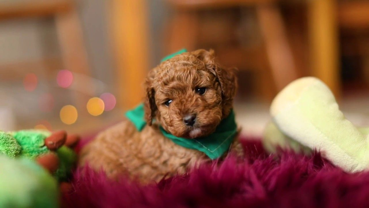 Adorable Cavoodle Puppy Cute Puppies Cavapoo Playing Cute