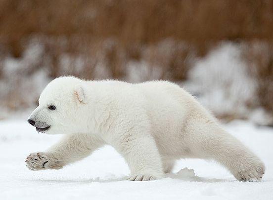 "Se llama Siku, ""hielo de mar"" en los idiomas Eskimo e Inuit.   OSOS ..."