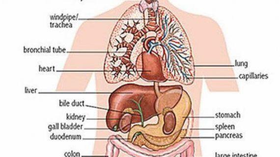 Labeled Human Internal System Diagram Of Human Internal Organs ...