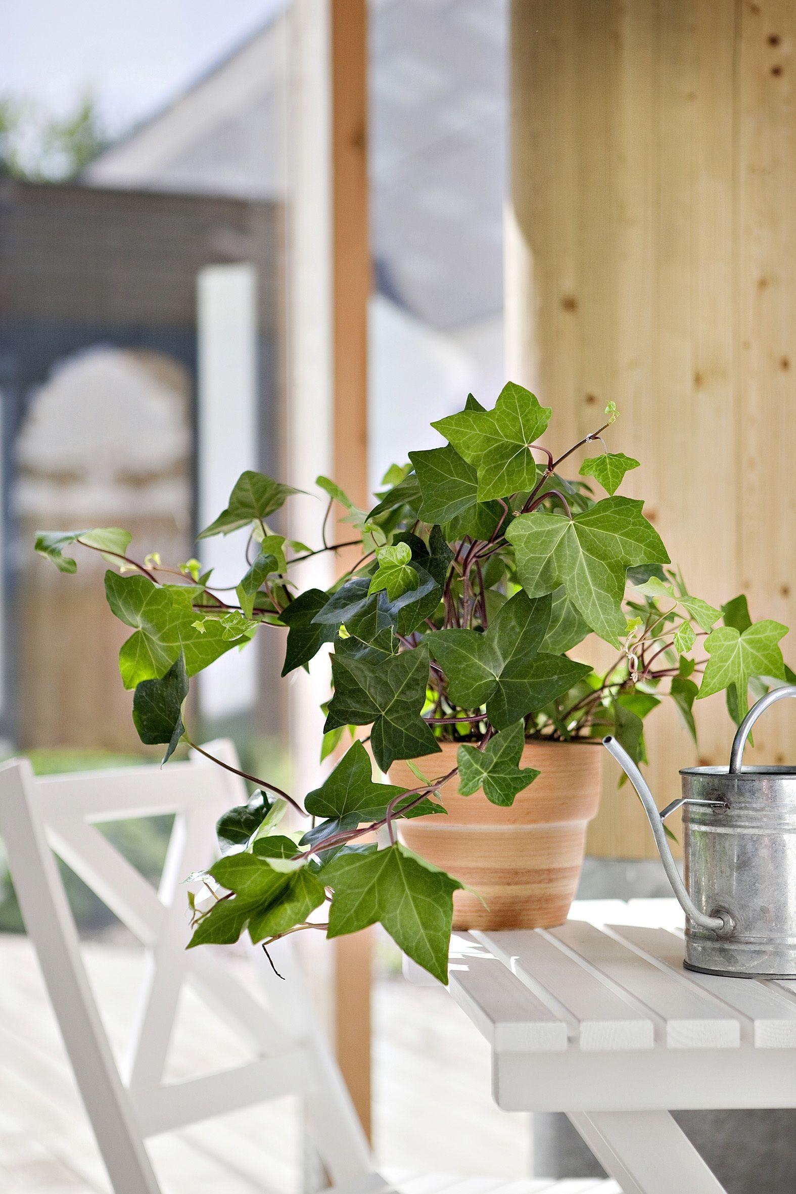 Botanic lance son site sur les plantes dépolluantes | Lierre ...