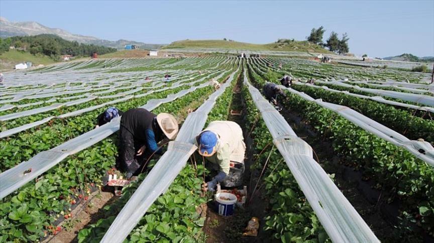 تركمان سوريون يبدأون حصاد فراولة زرعوها في يايلاداغي التركية بوابة عرب ترك