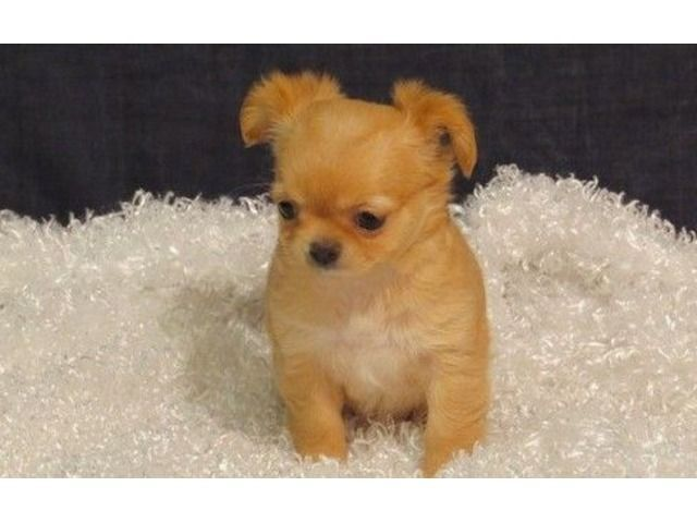 17 best ideas about Chihuahua Puppies For Sale on