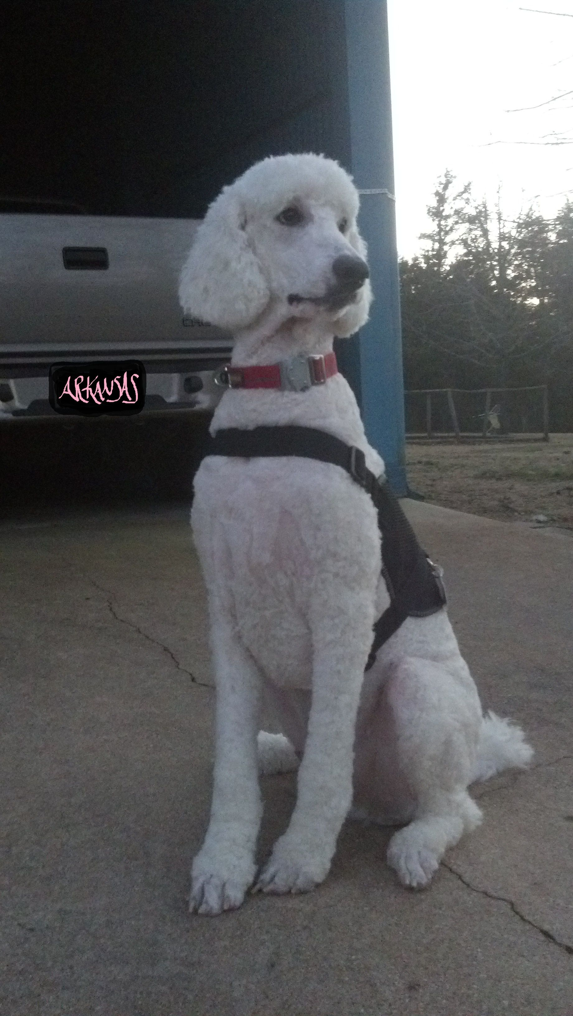Dog Of The Day Willow The Standard Poodle Service Dog Standard