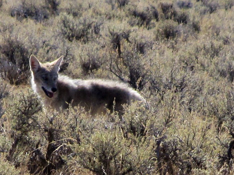Found this Coyote while 4 wheeling north of Mackay, Idaho