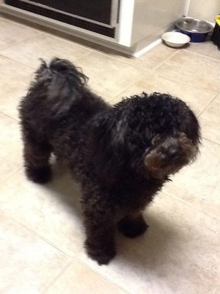 Poodle Bichon Poo Chon A Black Poo Chon Name Crosby Cute