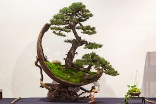 V Congresso Nacional de Bonsai - Exposição 1ª Parte. Pinus silvestris