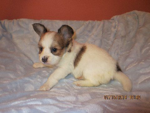 Puppies For Sale Updated 7 16 Papillon Puppy Papillon Puppies