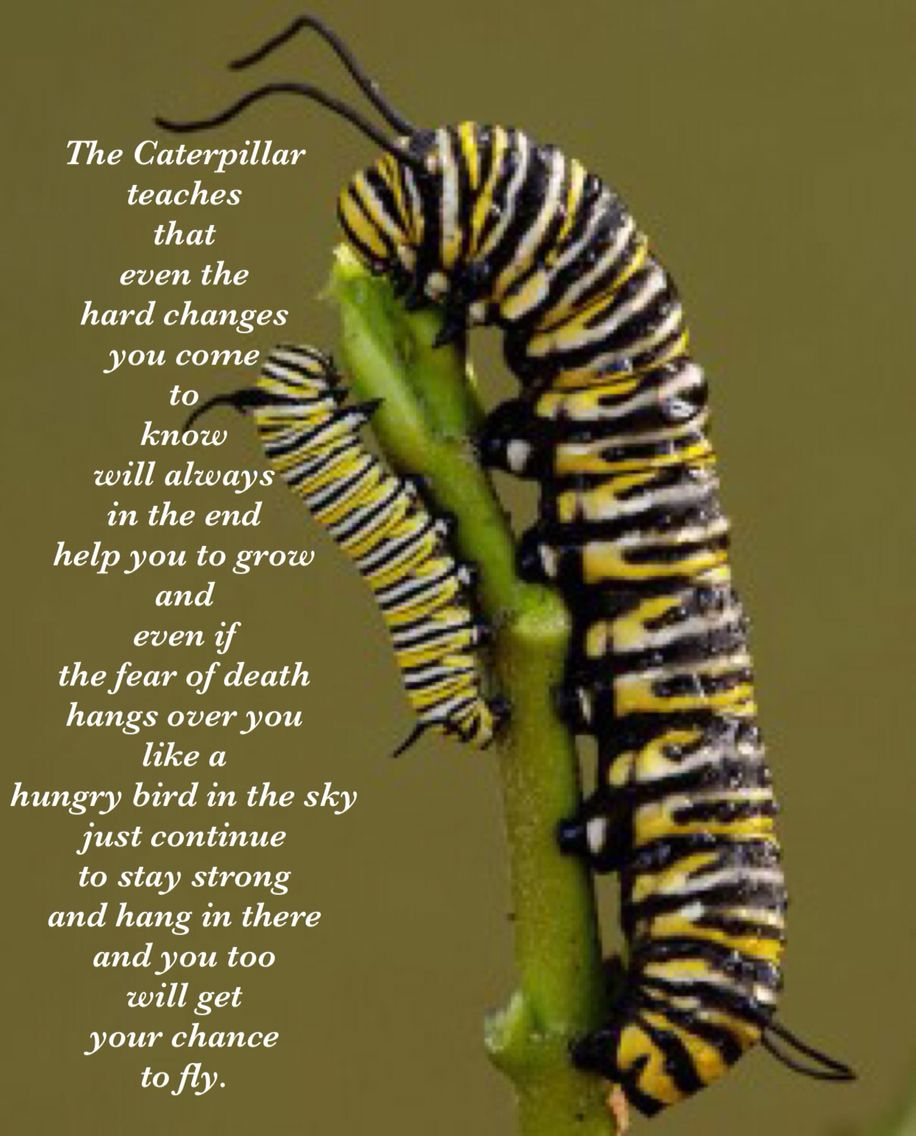 To inspire (With images) Monarch caterpillar, Monarch