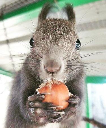 #baby #squirrel #squirrels #squirrelsofinstagram #animals #animal #animalplanet #babyanimals #wilde #animalkingdom #nationalgeographic #food #love #animallovers #animallover #animals #photooftheday