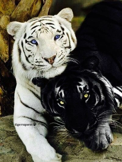 Melanistic Black Tiger There Are Historical Examples Of Black Tigers But Currently Most Are Pseudo Melanistic Having Br Cute Animals Wild Cats Animals Wild