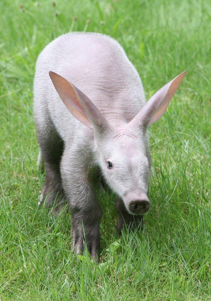 """""""A"""" Is For Aardvark, """"B"""" Is For Baby Aardvark, So It's"""