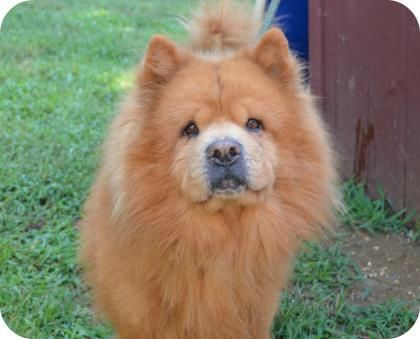 Adopt Bruce Lee On Chow Chow Dogs Pet Care Best Dogs For Families