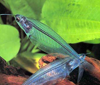 The Glass Catfish Or Ghost Fish Is A Transparent Freshwater Fish That Usually Grows Up To 15 Cm Or 6 Inches In Length Desc Glass Catfish Aquarium Catfish Fish
