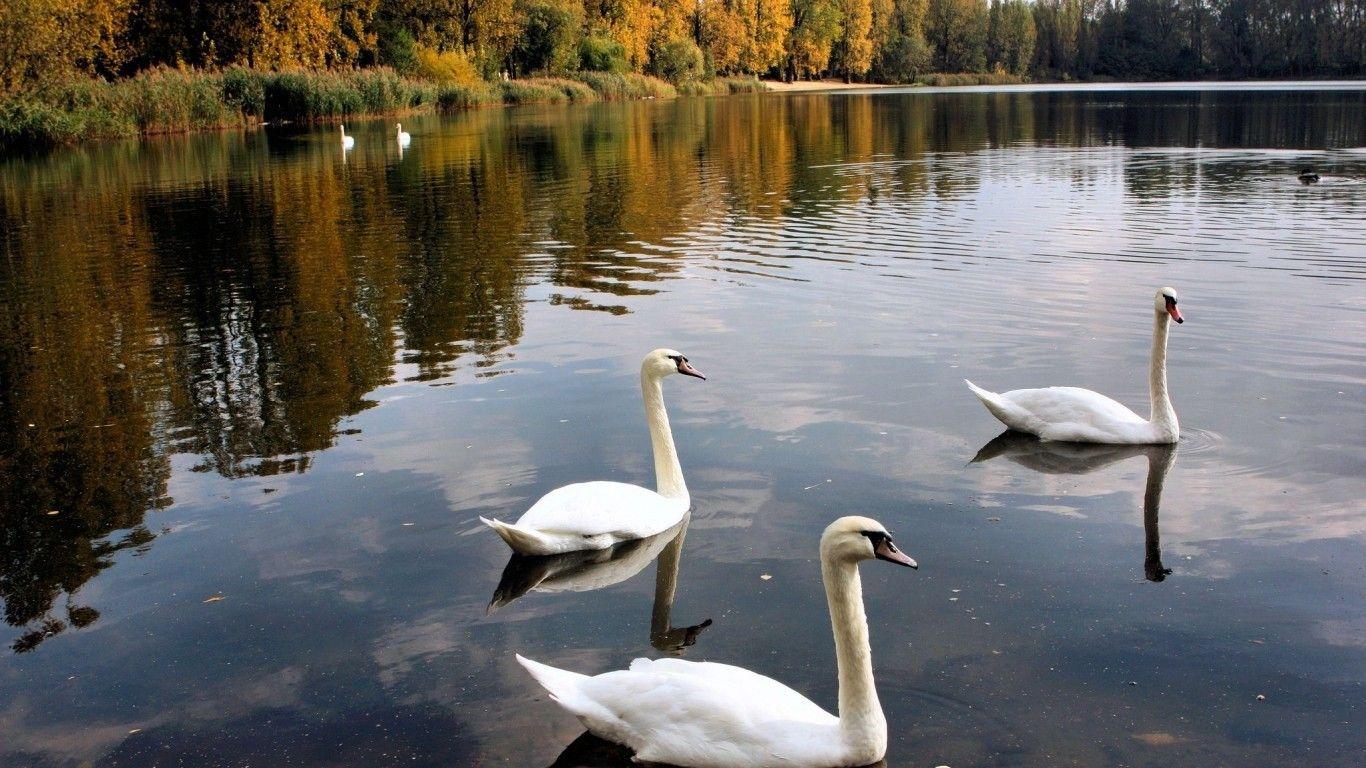 Trees swans ponds birds (1366x768, swans, ponds, birds)  via www.allwallpaper.in