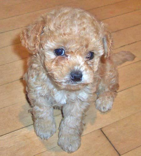 What S There Not To Like About This Adorable Pup I Want One So Bad Shih Tzu Poodle Mix Poodle Mix Poodle Mix Puppies