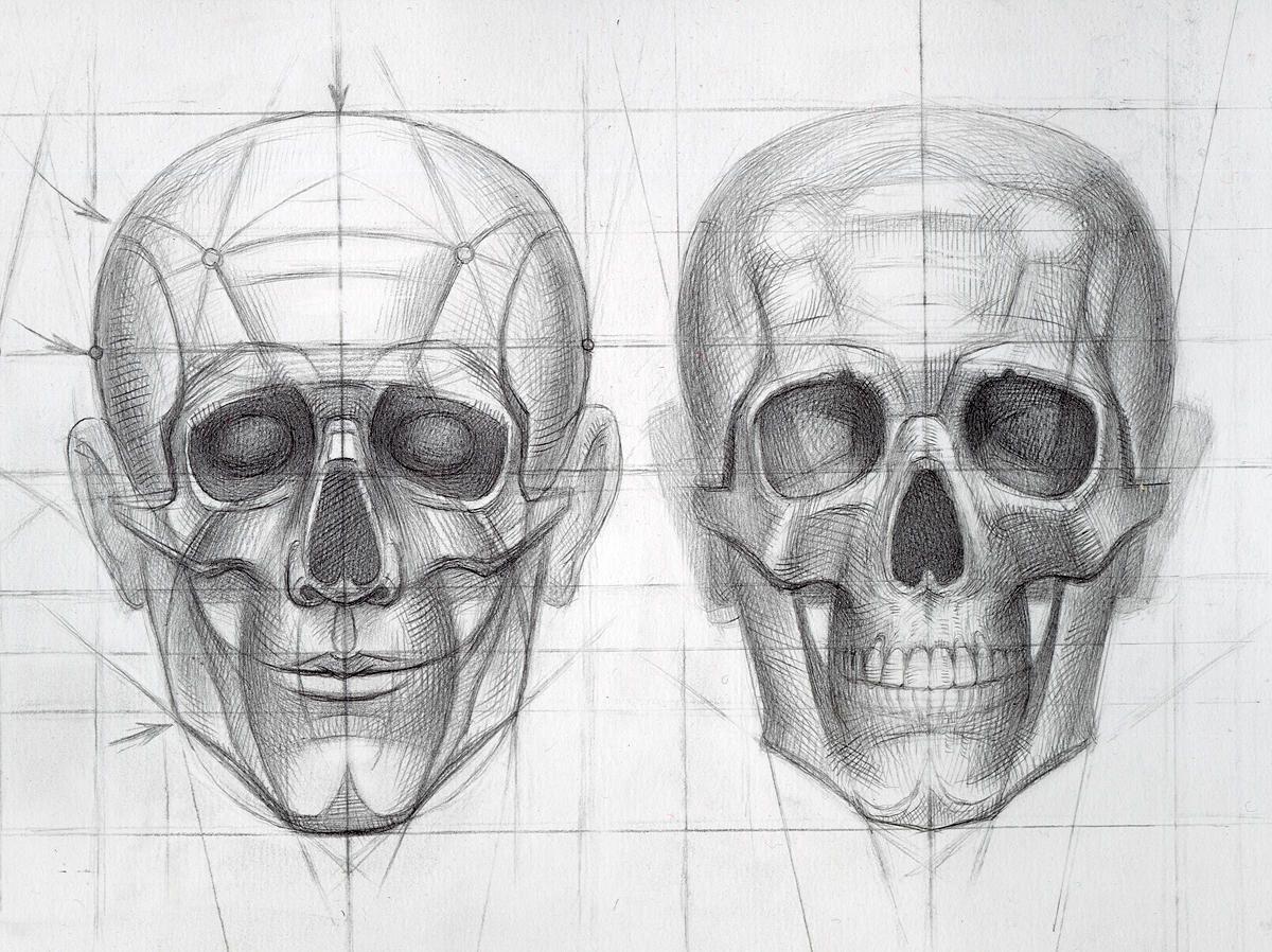 Anatomy For Artists Head