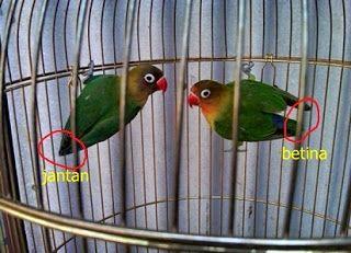 Karakteristik Dan Perbedaan Lovebird Jantan Dan Betina Betina Burung