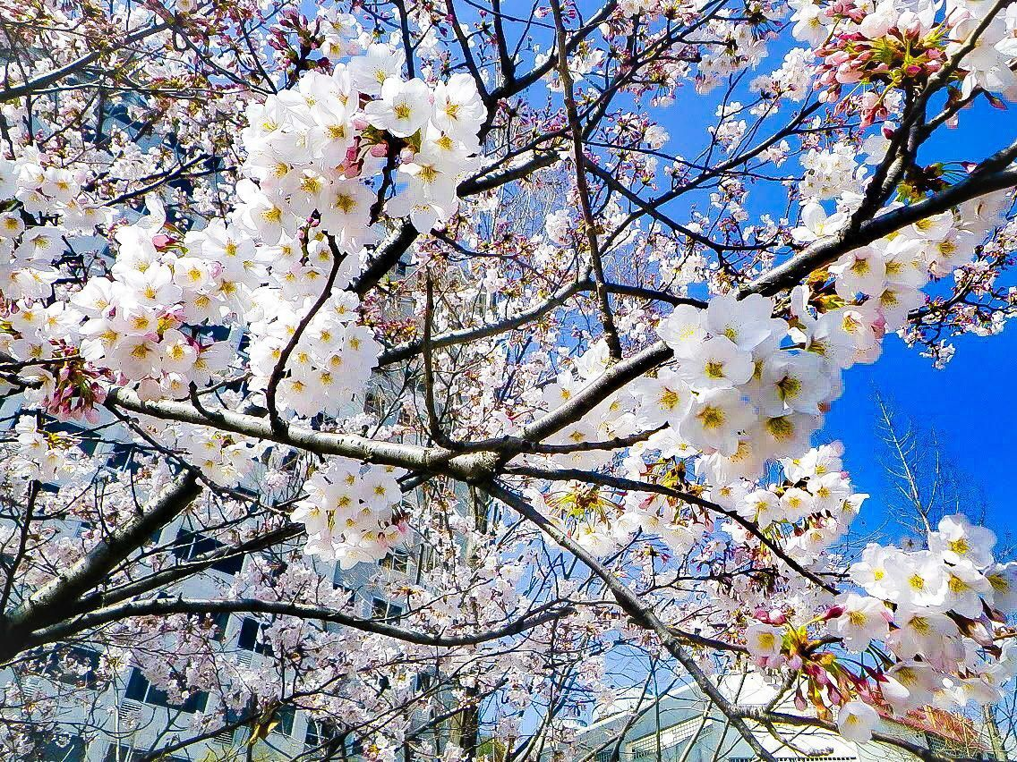 Cherry Blossoms In Ilsan South Korea Southkorea South Korea Korea Cherry Blossom