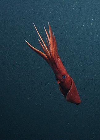 Octopoteuthis Deletron A Species Of Squid Are Pelagic Squids