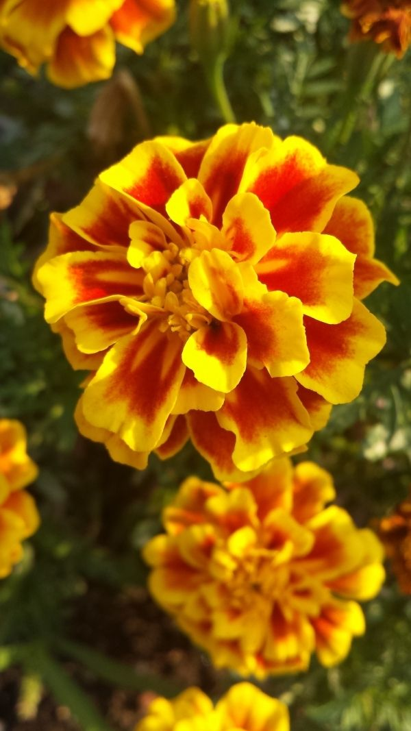 French Marigolds Nature S Insect Repellent I Adore These Hearty