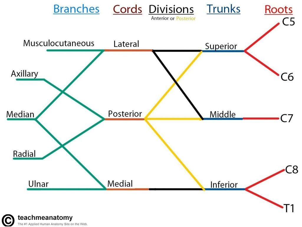 Brachial Plexus Subway Map.Location Of The Brachial Plexus Google Search Anatomy Plexus