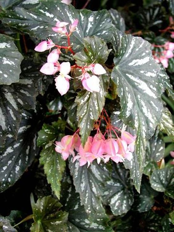 Angel Wing Begonia: how to grow care tips https://www ...