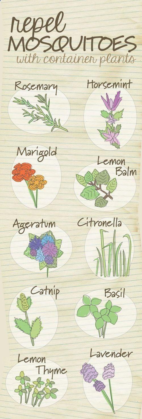 The top 10 container plants that repel mosquitoes..put these on decks, patios! Plantasque puedes cultivar en macetas