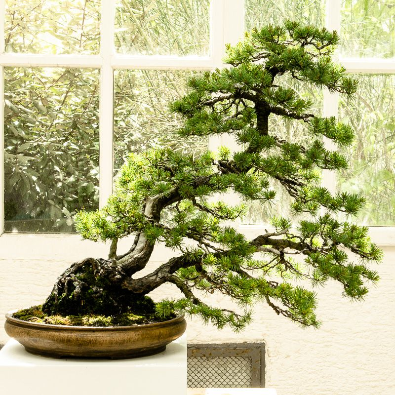 pinus pentaphylla bonsai von walter pall bonsai b ume pinterest garten m nchen bonsai. Black Bedroom Furniture Sets. Home Design Ideas