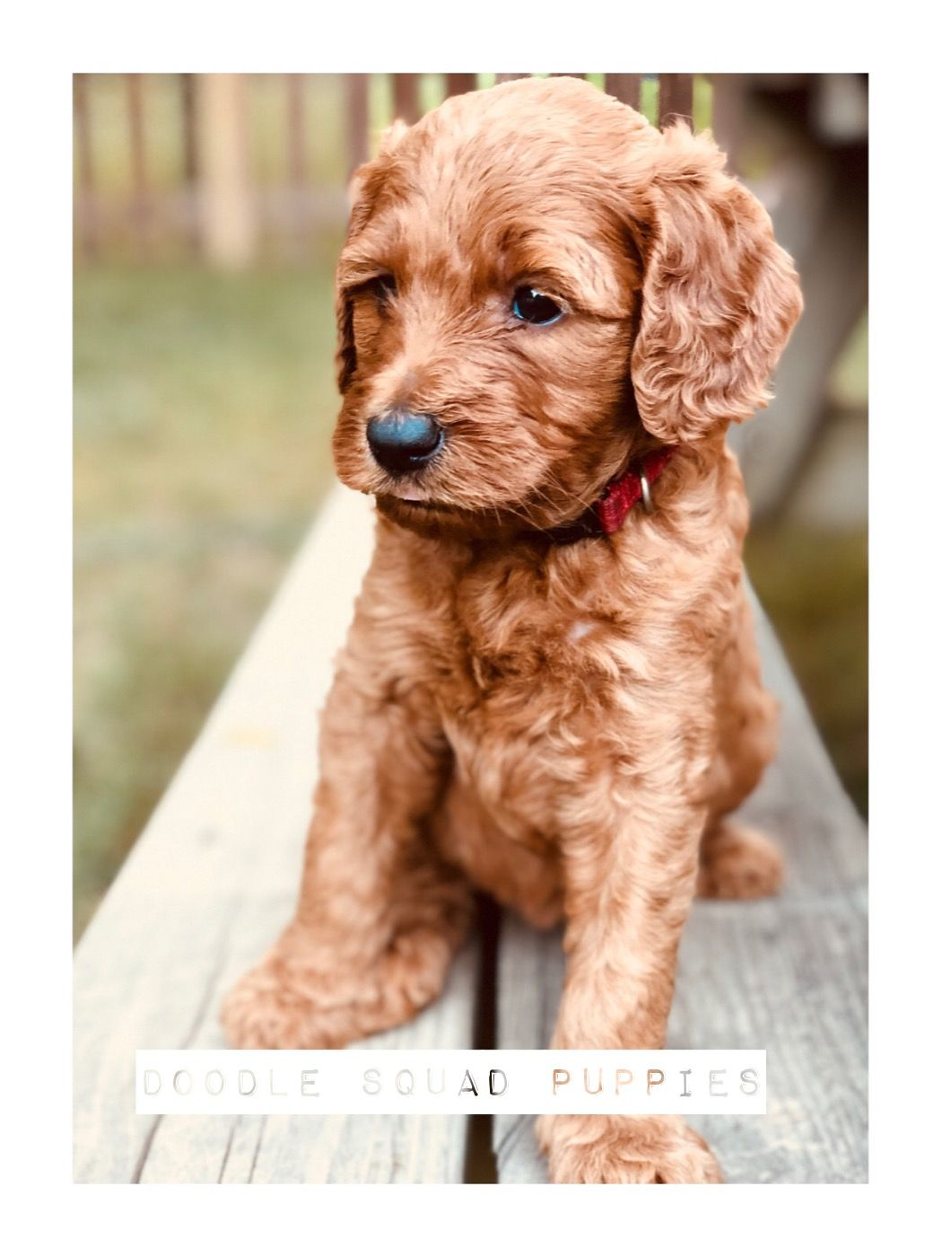 Best dogs around!! Goldendoodle puppy, Goldendoodle
