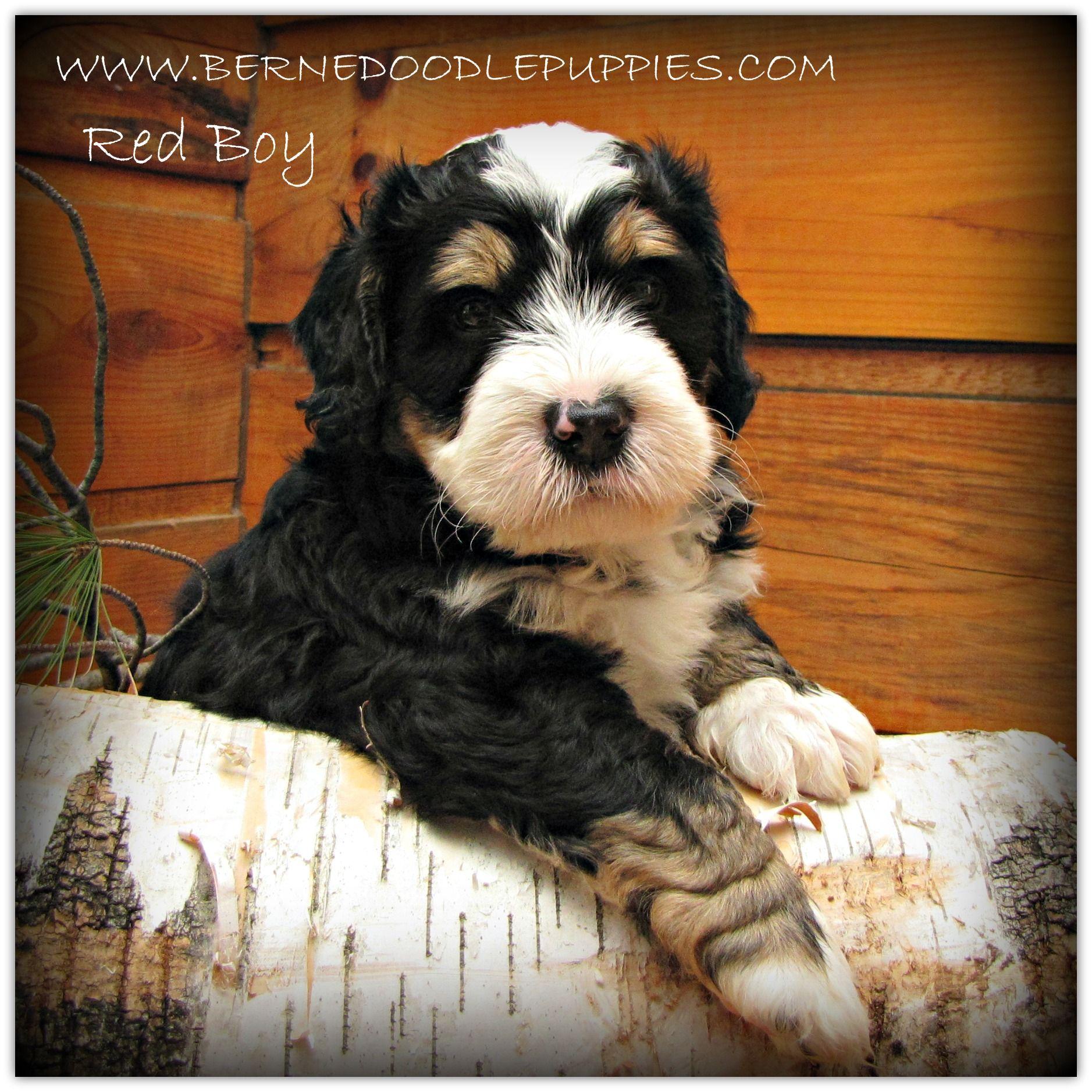 Wwwbernedoodlepuppiescom Red Boy A Bernedoodle Puppy At