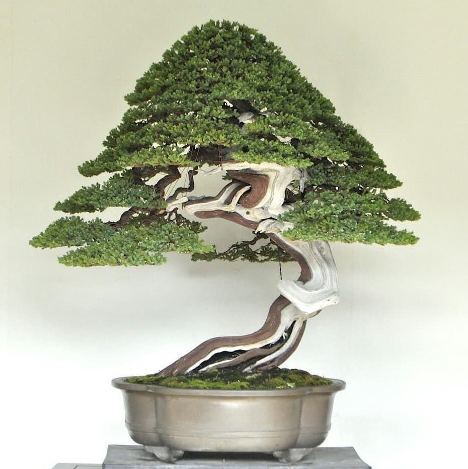 A Stunning Sonare Juniperus Procumbens By Naoki Maeoka Bonsai Bonsaitree Tree Ǜ†æ™¯ Ǜ†æ ½ Penjing Art Natu Bonsai Art Bonsai Trees For Sale Juniper Bonsai