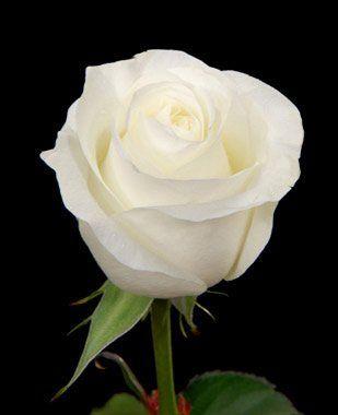 Anniversary White Roses 50 White Rose Flowers Fresh Flowers Beautiful Rose Flowers Rose White Roses