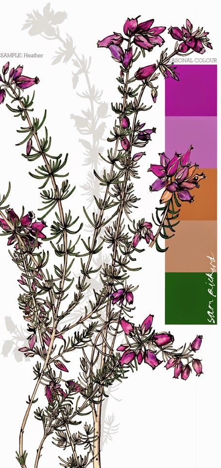 Planet Sam: Colour from the season - Bell Heather purple | Draw ...