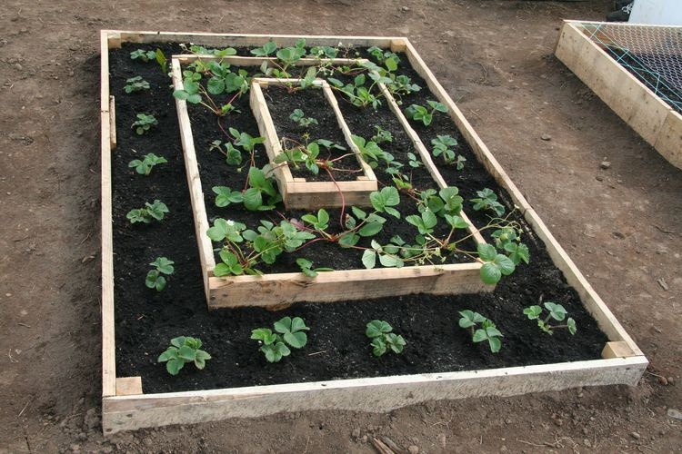 Strawberry Garden Ideas 7 secret tips for growing strawberries Make Beds Tiered Garden Strawberries Garden Strawberry Planting Bed Ideas Cool Ideas Veggie Gardens Vegetable Garden 34 Beds